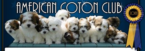 difference between coton de tulear and havanese american coton club coton de tulear introduction breeds picture