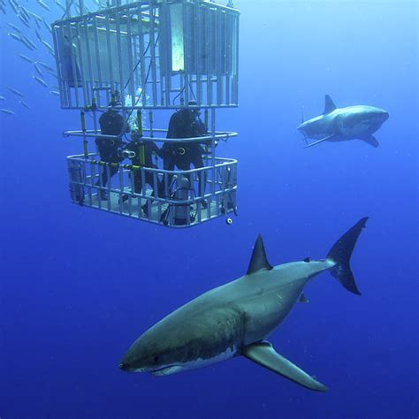 cage dive with sharks cage diving holidays dive worldwide