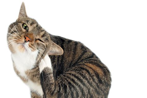scratching ear 4 cat ear problems and how to treat them catster