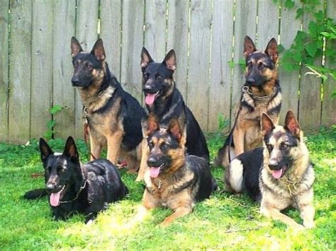 personal protection for sale guard attack with the german shepherds witch