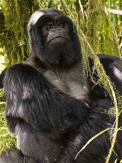 cadenas montañosas de argentina volcanes virunga el hogar del gorila de monta 241 a