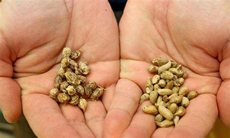 researchers trace peanut crop back to its bolivian roots