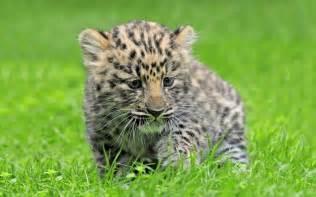 Description the wallpaper above is amur leopard cub cute wallpaper in