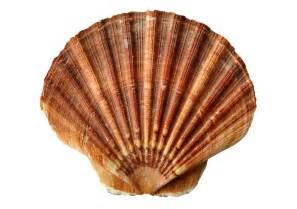 And Shell Free Photo Sea Shell Clam Sea Shells Free