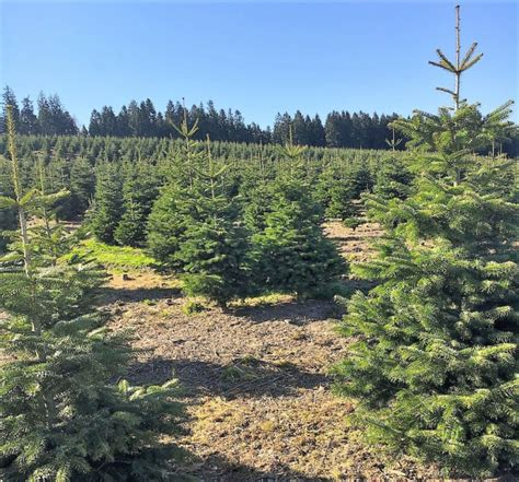 weihnachtsbaum hersteller weihnachtsbaum plantagen
