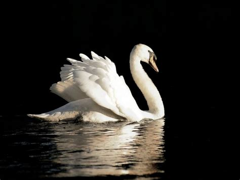 swan wallpapers hd pictures one hd wallpaper pictures