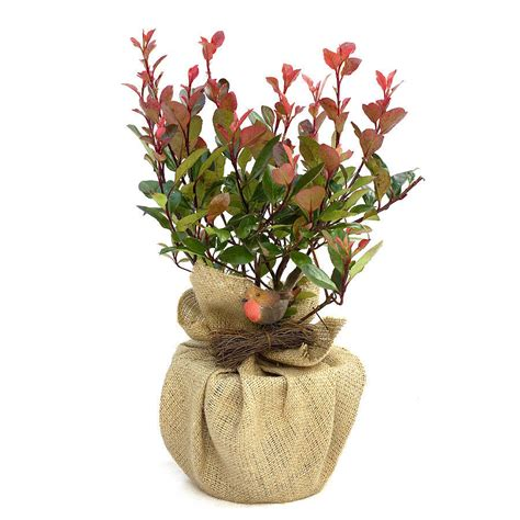 plant gift photinia little red robin by giftaplant