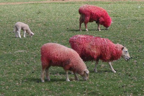 Sheep Pink cruising with blanco nordhavn 6409 sheep world