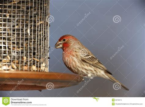 house finch sounds house finch carpodacus mexicanus frontalis stock photo