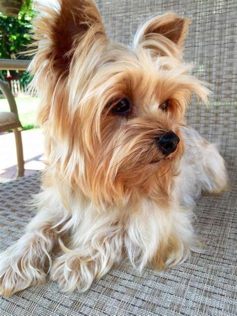petfinder yorkie meet miley a petfinder adoptable terrier yorkie encino ca meet
