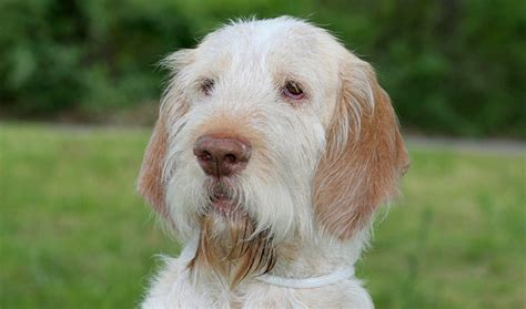spinone italiano puppy spinone italiano breed information