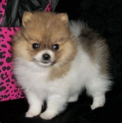 pomeranian baby teeth 82 best images about poms on teddy pomeranian pom poms and teacup