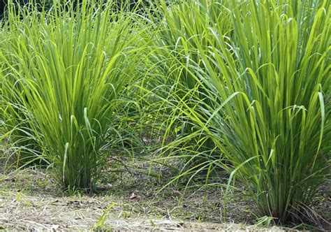 Best Plant For Mosquito Repellent by Lemon Grass Wash And Its Benefits Peju S Blog