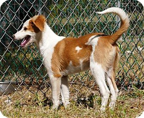 golden retriever saluki mix saluki golden retriever mix puppy for adoption in pennigton new jersey glazed