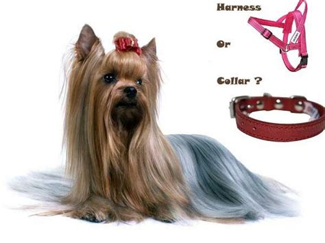 best yorkie products 63 best images about yorkies on pets can i eat and puppys