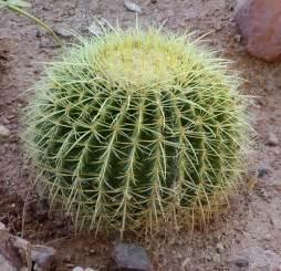 barrel cactus wikipedia