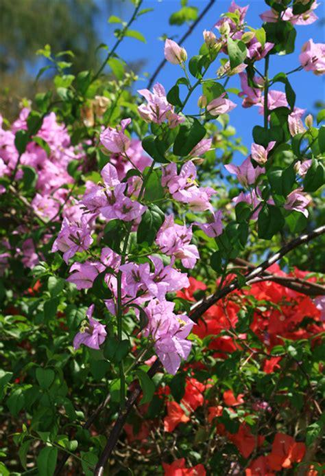 bougainvillea spp bougainvillea hawaiian plants  tropical flowers
