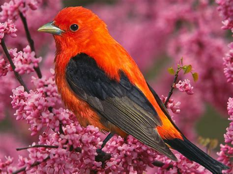 scarlet tanager bird wallpapers hd wallpapers