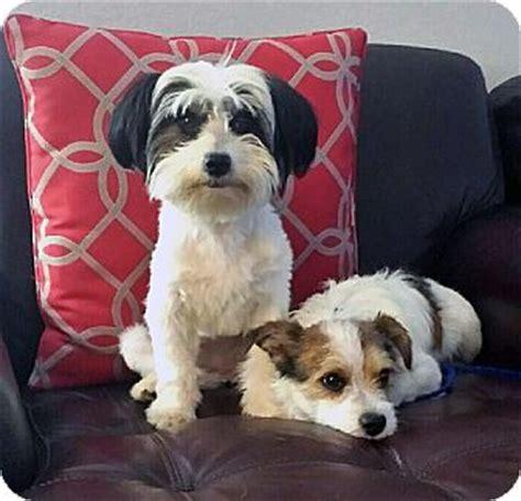 havanese terrier mix vista ca havanese terrier mix meet noah a for adoption