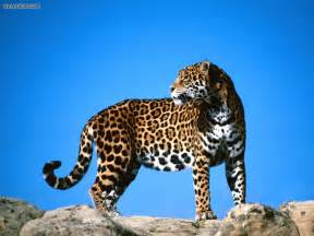 Second Jaguar Animals Second Look Jaguar Picture Nr 14554