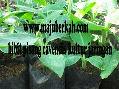 Bibit Pisang Cavendish Purworejo bibit pisang kultur jaringan jual bibit tanaman pisang