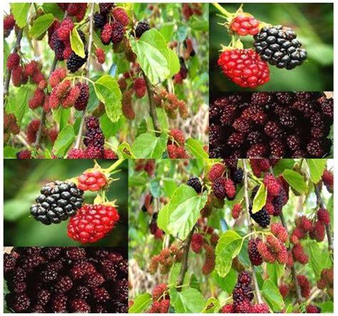 50 fruit tree 50 x black mulberry fruit tree seeds morus nigra