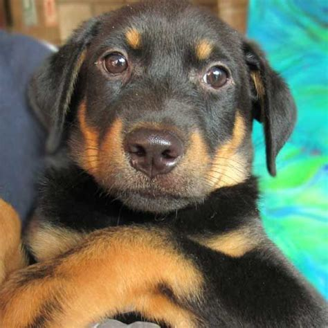 adopt a puppy san diego 1705 best images about rottweiler puppies on rottweiler mix rottweiler