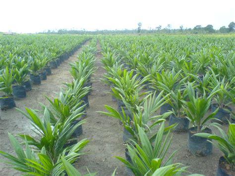 Bibit Kelapa Sawit pertanian nuhaagro