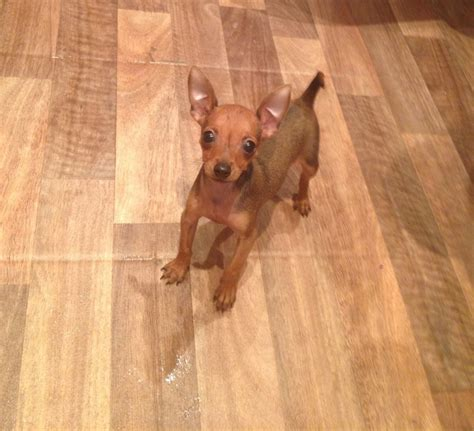 mini pin puppies tiny miniature pinscher puppy brentwood essex pets4homes