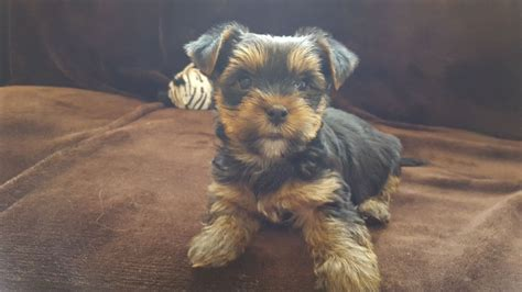 baby yorkie for sale 400 adorable terrier baby boys walsall west midlands pets4homes