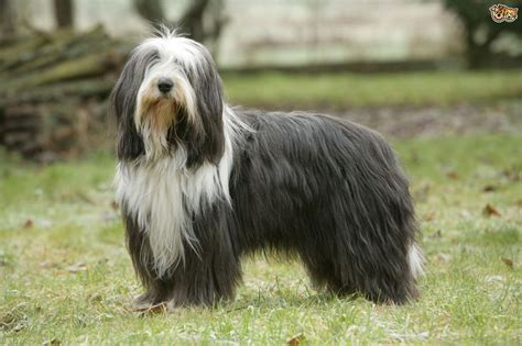 bearded collie puppy bearded collie breed information buying advice photos and facts pets4homes