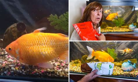 meet  goldfish  anger management issues nature