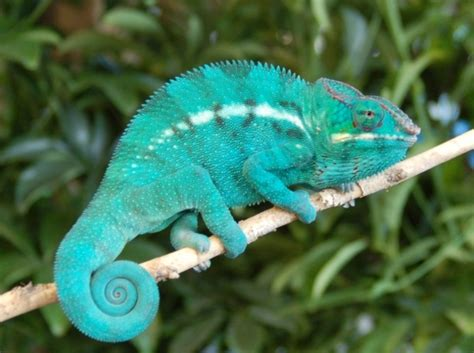 do all chameleons change colors how can the chameleon change its color
