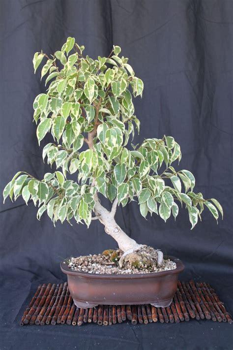 ficus benjamina  charles   images bonsai tree