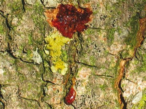 Il Tarlo Per Le tarlo asiatico fusto anoplophora glabripennis