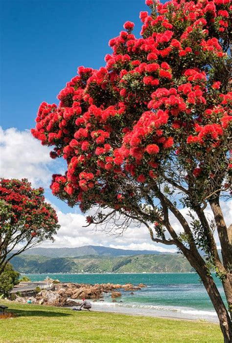 best real christmas tree nz 26 best images about new zealand pohutukawa tree on trees trees and