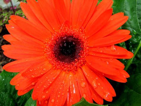 gerber daisies file gerber daisy 229689778 jpg wikimedia commons