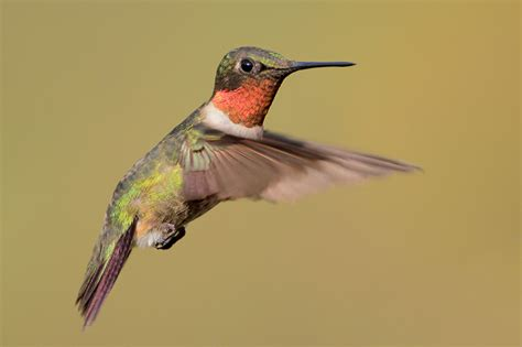 ruby throated hummingbird migrating marvel 09 15 2012