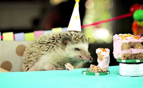 birthday cake petco pin pygmy hedgehog petco cake on