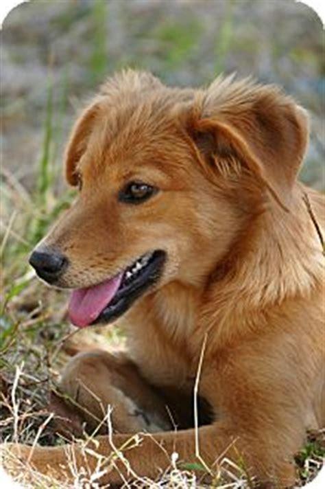 golden retriever saluki mix pennigton nj golden retriever saluki mix meet fritter a puppy for adoption