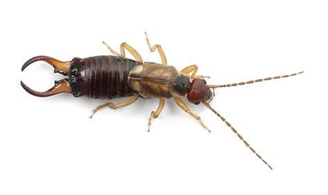 Earwigs - How to Get Rid of, Kill & Control Earwig Bugs