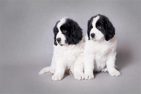 landseer puppies landseer newfoundland puppies