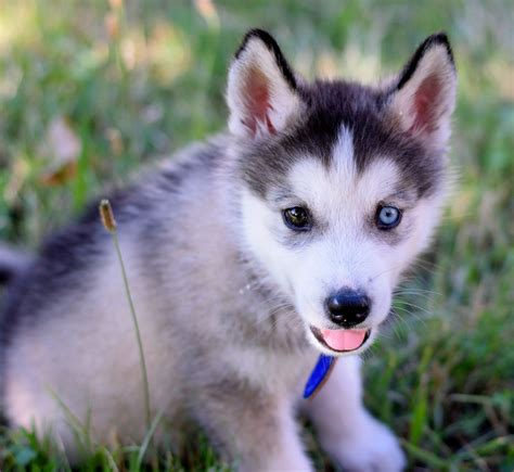 puppy bjorn husky puppy named bjorn by firzen1 on deviantart