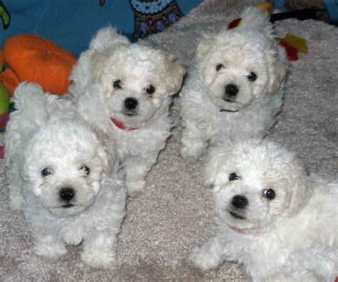 white bolognese puppies sale 548 best fluffy small white dogs images on bichon frise bichons and doggies