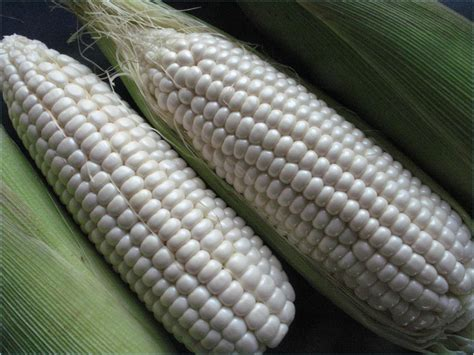 Benih Jagung Waxy Corn T1310 3 by azis rifianto