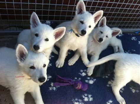 white swiss shepherd puppies white swiss shepherd puppies white shepherds