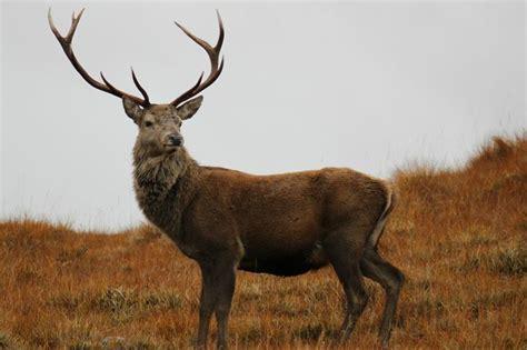 google images deer red deer stag google search animals pinterest deer