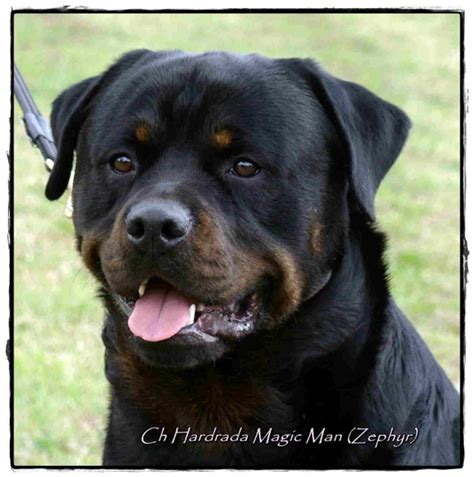 colorado rottweiler www rottweiler co nz