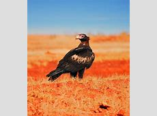 Wedge-tailed eagle – eaglehawk   DinoAnimals.com Koalas Habitat And Diet