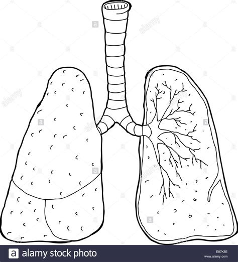 cross section drawing cross section drawing of human lungs and trachea stock